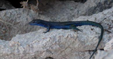 La lucertola azzurra di Capri: l'abitante straordinario dell'isola