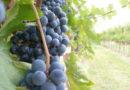 bella immagine di uva toscana rossa