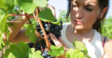 donna che raccoglie grappolo d'uva in pieno giorno