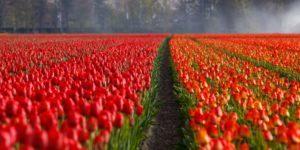 Olanda distesa di tulipani