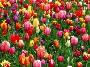 I tulipani sono i fiori tipici dei Paesi Bassi